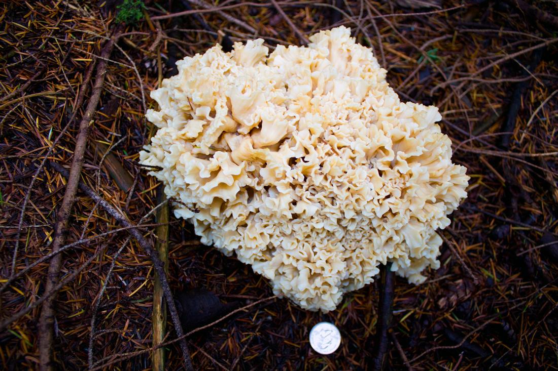 Cauliflower mushroom identification